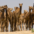 Camel at Pushkar Fair , India — Stock Photo #28189033