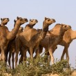 Camel at Pushkar Fair in Rajasthan, India — Stock Photo #28917627