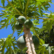 Bunch of papayas hanging from the tree — Stock Photo #29016115