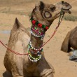 Camel at the Pushkar Fair , Rajasthan, India — Stock Photo #29016807