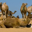 Camel at Pushkar Fair , Rajasthan, India — Stock Photo #29017027