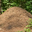 Anthill in a forest — Stock Photo