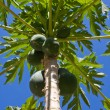 Bunch of papayas hanging from the tree — Stock Photo #29017973