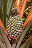 ананас завод — Стоковое фото