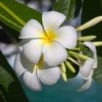 White Frangipani flower (plumeria) — Stock Photo