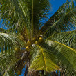 Coconuts palm tree — Stock Photo