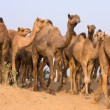 Camel at the Pushkar Fair in Rajasthan, India — Stock Photo #29187821