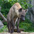Stock Photo: Hyena