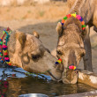Camel at Pushkar Fair in Rajasthan, India — Stock Photo #29270267