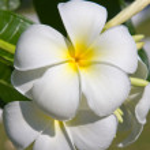 White Frangipani flower at full bloom during summer (plumeria) — Stock Photo
