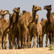 Camel at Pushkar Fair in Rajasthan, India — Stock Photo #29587551