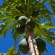 Bunch of papayas hanging from the tree — Stock Photo #29588165