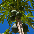 Bunch of papayas hanging from the tree — Stock Photo