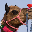 Stock Photo: Camel at Pushkar Fair in Rajasthan, India