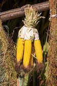 Corn drying — Stock Photo