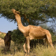 Camel at Pushkar Fair in Rajasthan, India — Stock Photo #30285141