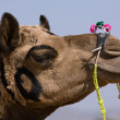 Camel at Pushkar Fair , Rajasthan, India — Stock Photo #30285235
