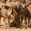 Camel at Pushkar Fair in Rajasthan, India — Stock Photo #30285269