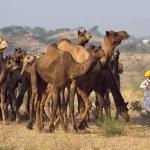 Pushkar Fair ( Pushkar Camel Mela ) Rajasthan, India — Stock Photo #30285625