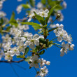 Branches of a blossoming apple tree against the blue sky — Стоковая фотография