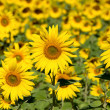 Sunflower field over blue sky — Stock Photo #30493619