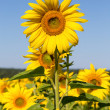 Sunflower field over blue sky — Stock Photo #30493651