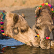 Camel at the Pushkar Fair in Rajasthan, India — Stock Photo #30497217
