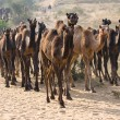 Camel at the Pushkar Fair in Rajasthan, India — Stock Photo #30912935