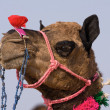 Camel at the Pushkar Fair in Rajasthan, India — Stock Photo #30912941