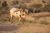 Cow, Pushkar , India . — Stock Photo