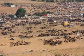 Pushkar Camel Mela ( Pushkar Camel Fair ) — Foto Stock