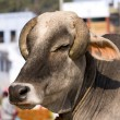 Stock Photo: Indian holy cow in front of the typical Indian house, Varanasi, India