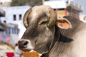 Indian holy cow in front of the typical Indian house, Varanasi, India — Stock Photo