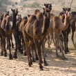 Stock Photo: Camel at Pushkar Fair , Rajasthan, India