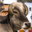 Indian holy cow in front of the typical Indian house, Varanasi, India — Stock Photo #33451749