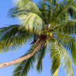 Coconut palm tree — Stockfoto