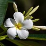 White Frangipani flower (plumeria) — Stock Photo #35246991