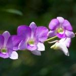 Closeup beautiful orchid flower — Stock Photo #35248981