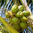Coconuts on the palm tree in Thailand — Stock Photo