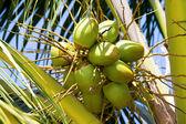 Kokosové ořechy na palmu v thajsku — Stock fotografie