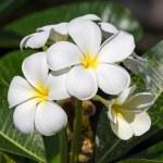 White Frangipani flower (plumeria) — Stock Photo #35456007