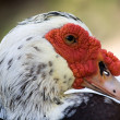 Domestic muscovy duck , Cairina moschata — Foto Stock