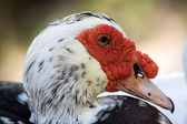 Domestic muscovy duck , Cairina moschata — Stock Photo