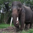 Stock Video: Asian elephant