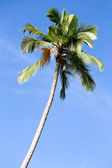 Coconut palm tree in Philippines — Stock Photo
