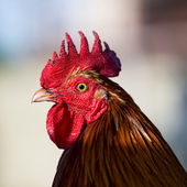 Beautiful rooster — Stock Photo