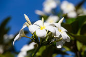 White Frangipani flower at full bloom during summer (plumeria) — Stock Photo