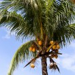 Coconuts on the palm tree in Philippines — Stock Photo #43539109