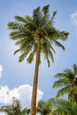Coconuts palm tree perspective view from floor high up — Stock Photo