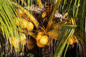Coconuts on the palm tree in Philippines — Stock Photo